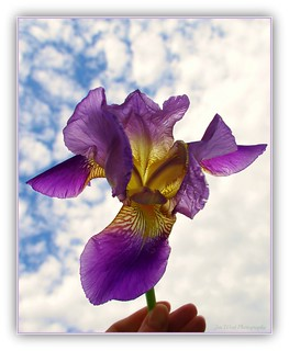 Purple Iris | by JenSue256