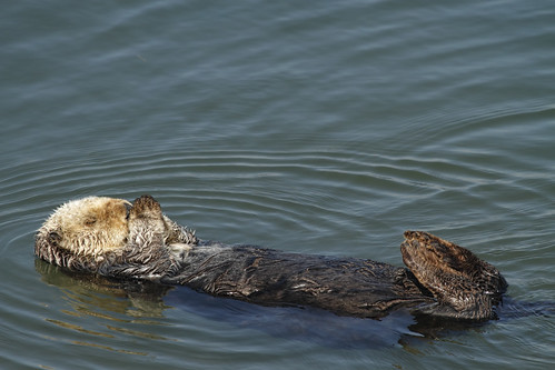 Sea Otter in usual pose......1 of 2 in series | by Alan Vernon.