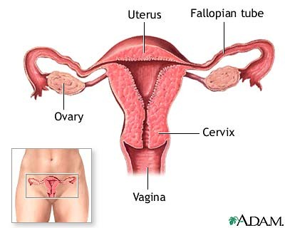 Human Female Reproductive System Lmwoodward Flickr