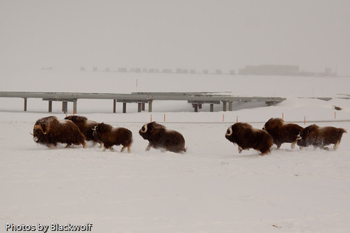At Home in Prudhoe Bay | by blkwolf1017