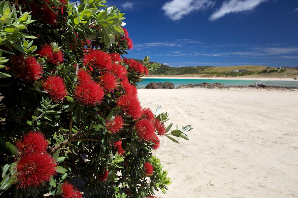 New Zealand's Christmas Tree | Pohutukawa blooms at Matai Ba… | Flickr
