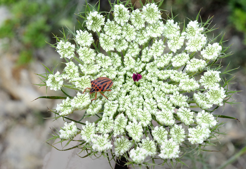 Graphosoma lineatum, Daucus carota flower by Theodore Kargas on Flickr