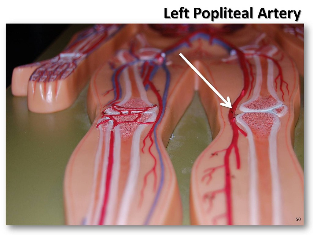 Left popliteal artery - The Anatomy of the Arteries Visual… | Flickr