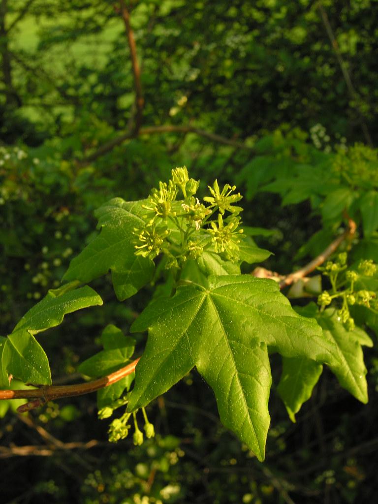 Prüfungsrelevante Pflanzen A-L