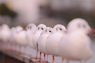 Sailors of the Black-headed Gulls in line | by naruo0720
