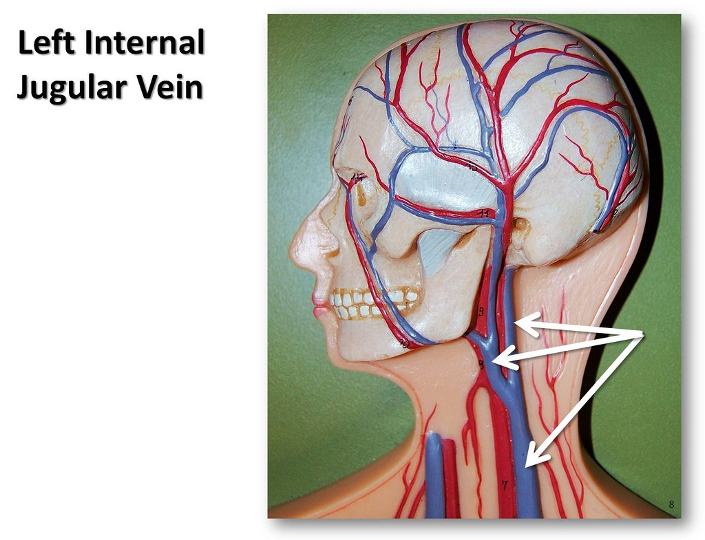 Left internal jugular vein - The Anatomy of the Veins Visu… | Flickr