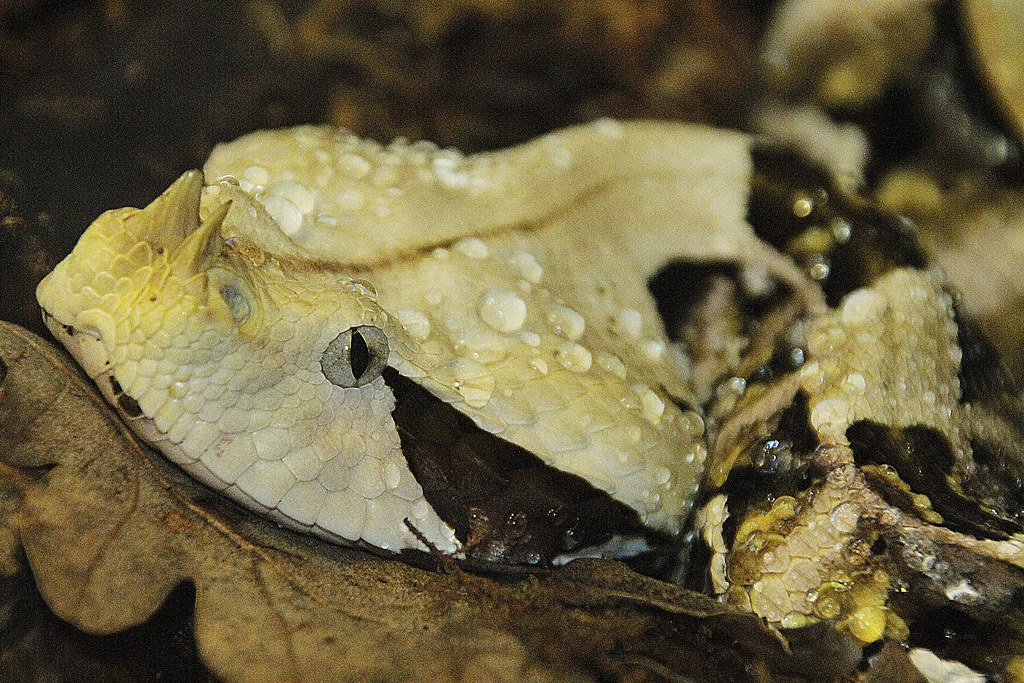 vibora de gabon bitis gabonica me encanta esta foto es u flickr
