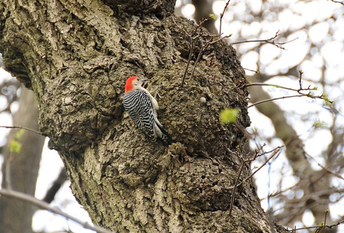 Red-Bellied Woodpecker | by HorsePunchKid
