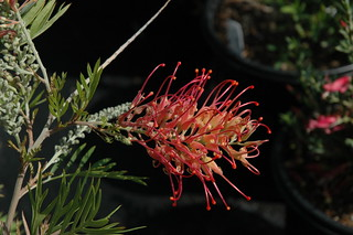 Grevillea 'Fire Sprite' | by The Huntington Library