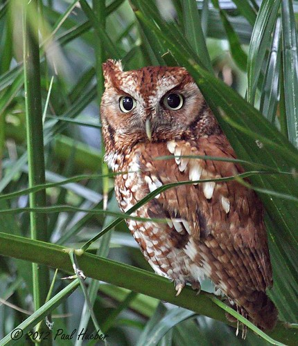 Eastern Screech-Owl red morph (Otus asio) | by Paul Hueber