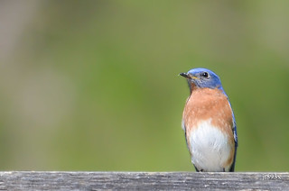 Eastern Bluebird | by jt893x