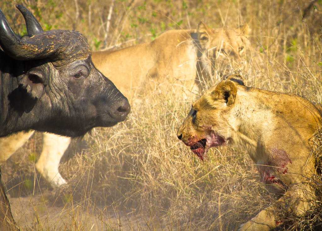 Lions hunting a Buffalo | It's a wonder but the six lions di