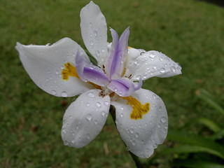 beautiful flower after the rain | by Stobbsc