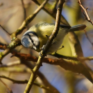 Blue Tit | by hellotim80