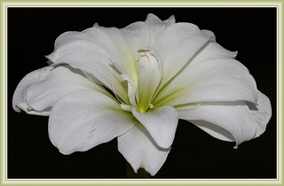 Amaryllis | by mmeyer51