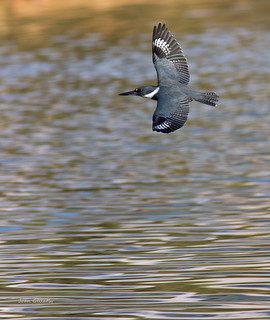 Belted Kingfisher - female | by Joan Gellatly