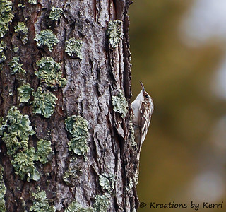 Remembering 2010 - My First Brown Creeper | by KerriFar