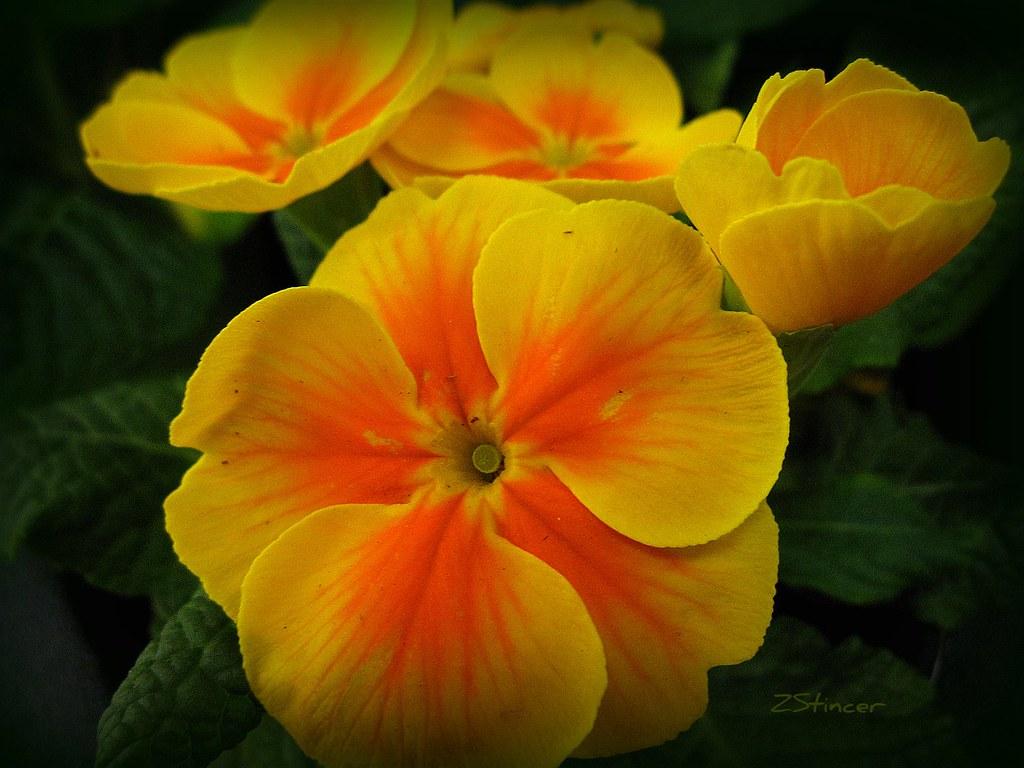 Yellow Primrose Flowers Miami Fl Usa Please Check It O Flickr