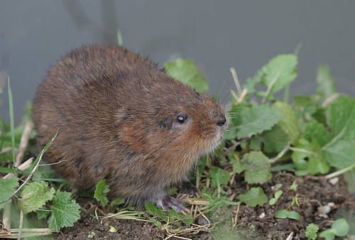 Water Vole. | by Sandra Standbridge.