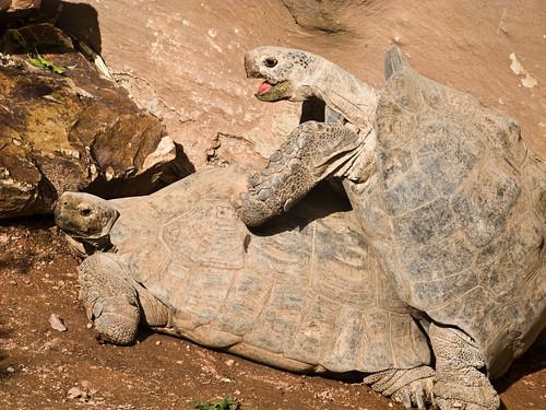 XXX, hot Turtle on Turtle action! - Eyton Z - Flickr