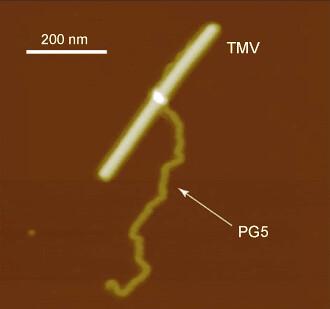 Macromolécula sintética y TMV