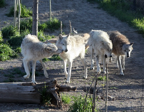 Wolf Pack | by jurvetson