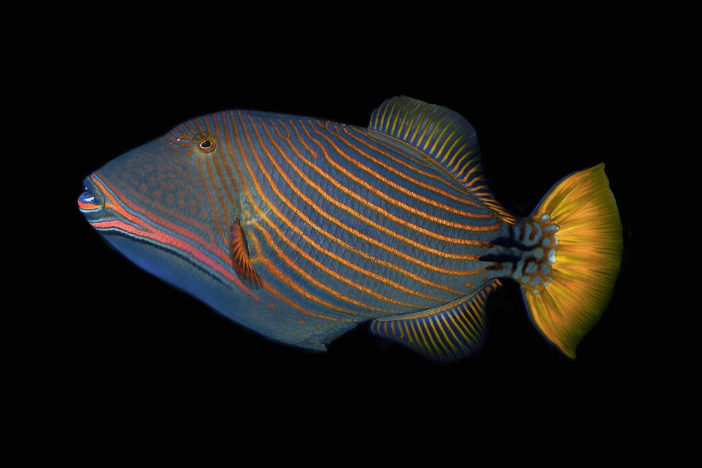 undulate triggerfish balistapus undulatus photo franz im art