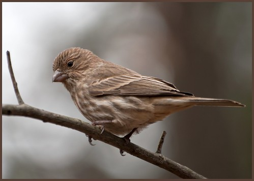 Sweet Little Finch | by Renda ...be back when less bear activity