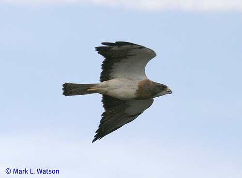 adult Swainson's Hawk flying | by Mark L. Watson
