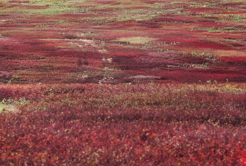 Blueberry Barrens in Autumn | by 9brandon