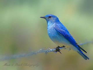 Bluebird of Happiness | by Aspenbreeze