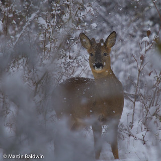 Winters here deer | by MartinBaldwin