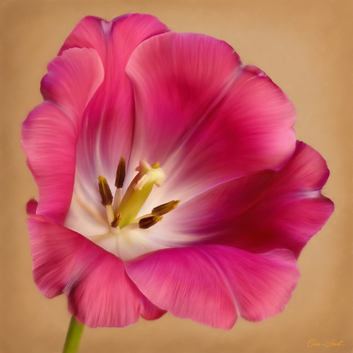 Tulip | by ChristopherLeeHewitt