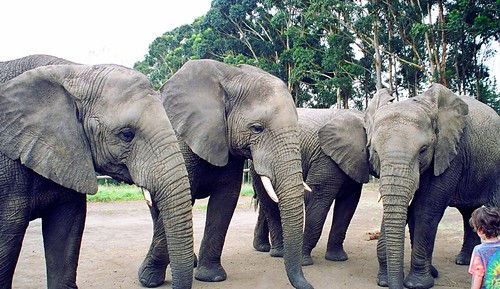 Four Elephants And A Child | by Kyre Wood