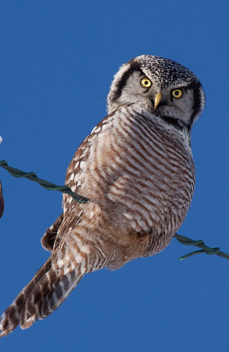 Northern Hawk Owl | by Laura Erickson