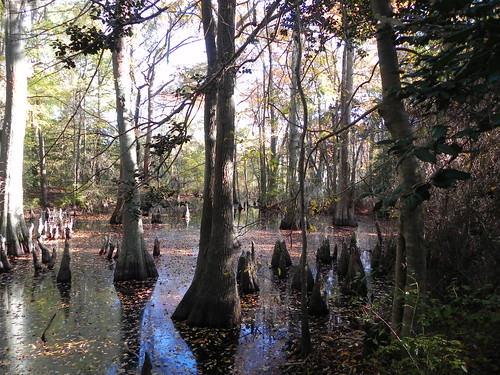 Bald Cypress Swamp at FLSP | by vastateparksstaff