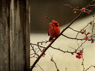 Red Bird | by Skeletalmess