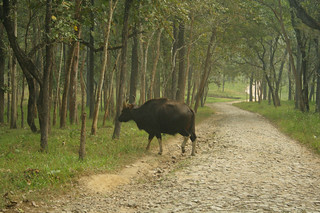 Lonely Bison | by Satish Babu