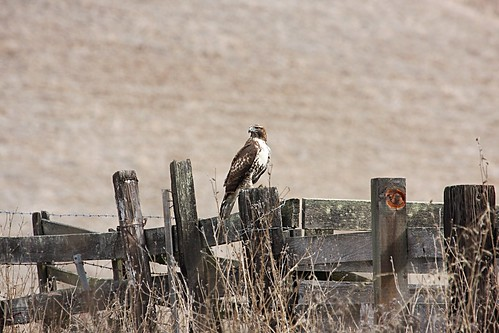redtail2 dave harper oakley | by Contra Costa Times