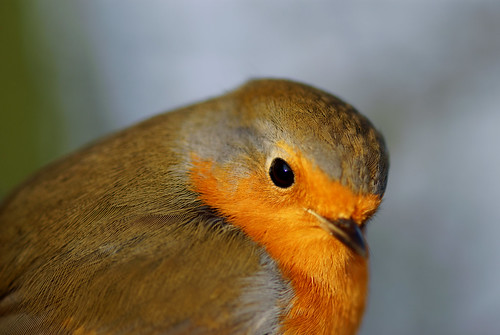 Christmas Robin | by Chris McLoughlin