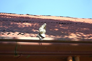 A ctenosaur, sunning himself on the roof | by fkedupmonkey
