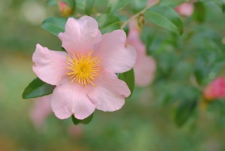 camellia sasanqua | by snowshoe hare*(back and slowly catching up)