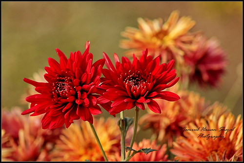 Beautiful red Flower | by Shajal1 (updating my contact )