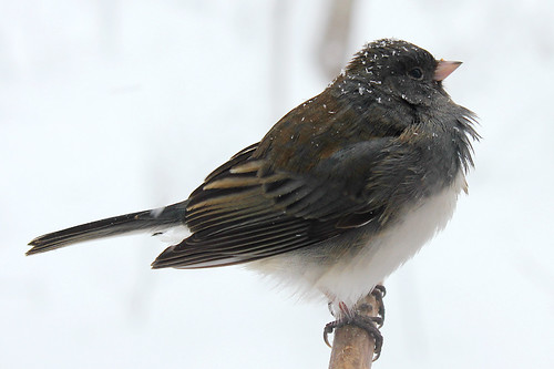 Junco | by cheryl.rose83
