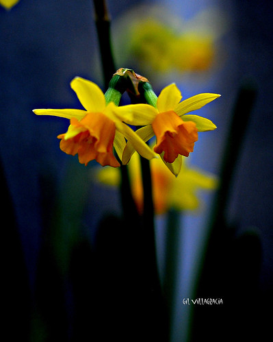 Daffodils | by gilvillagracia