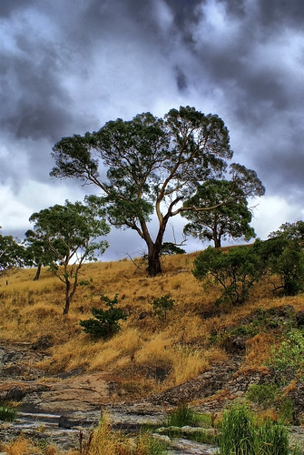 Lancefield Tree | by Nino Xerri