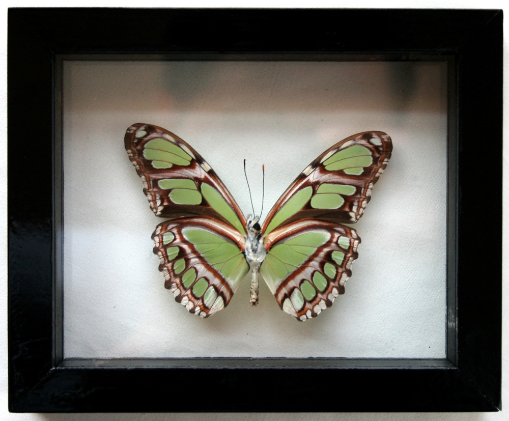 real green philaethria dido framed butterfly art in black by ben the butterfly guy