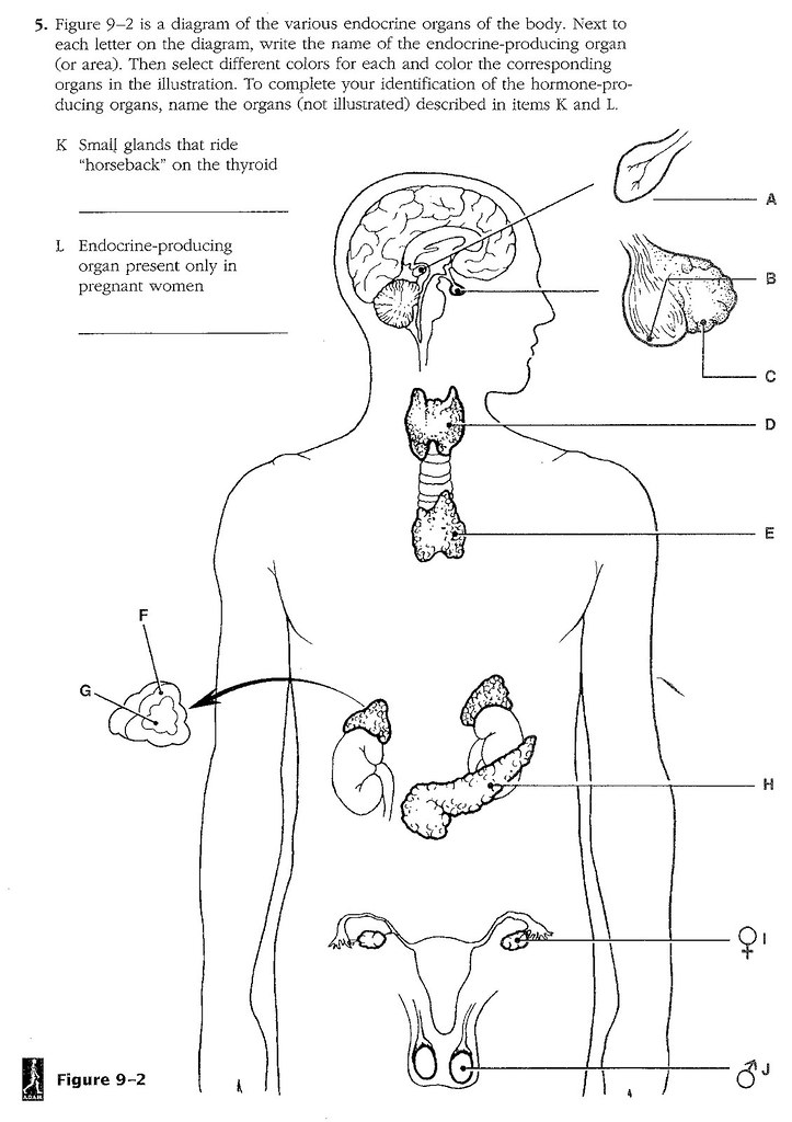 Diagram Of The Various Endocrine Organs Diy Enthusiasts Wiring
