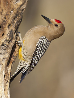 the endangerment of the gila woodpecker Summary of review and recommendation for 2008 new mexico endangered species list  table 2 taxonomic review of new mexico threatened and endangered species taxa listed as subspecies  gila woodpecker, melanerpes uropygialis bell's vireo, vireo bellii gray vireo, vireo vicinior.