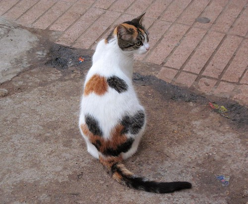 Calico cats in Morocco | by valleygirl_tka